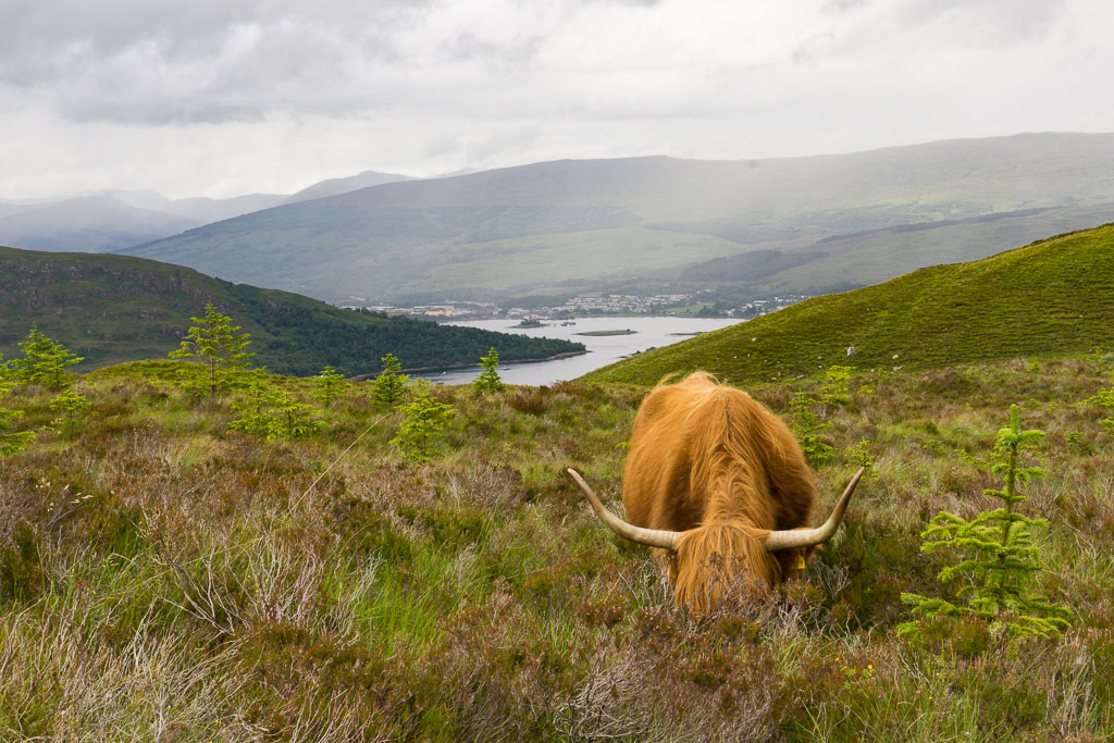 Walks in Glen Nevis Two Drifters Hairy Coo with a view! Fort William, Scotland
